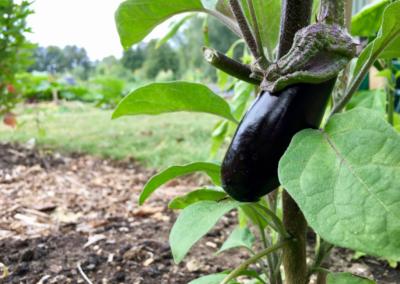 Aubergine at regenerative market garden