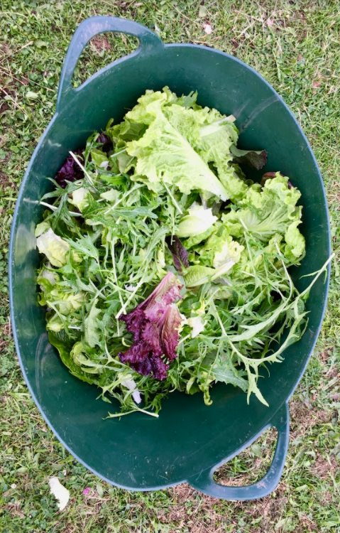 Image of salad leaf harvest at Crackstone Barns
